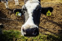 Close-up of the head of a Holstein cow standing at a barb wire fence making a funny face, with identification tags in it's ears on a robotic dairy farm, North of Edmonton; Alberta, Canada — Stock Photo