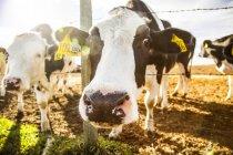 Zwei holstein-kühe, die an einem stacheldrahtzaun stehen und neugierig in die kamera schauen, mit kennzeichen in den ohren auf einer robotermilchfarm nördlich von edmonton; alberta, kanada — Stockfoto