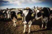 Vacas holandesas curiosas que olham a câmera ao estar em uma área cercada com tag de identificação em suas orelhas em uma exploração agrícola de leiteria robótica, norte de Edmonton; Alberta, Canadá — Fotografia de Stock