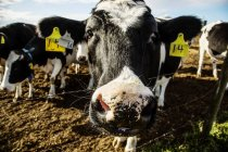 Close-up of the head of a Holstein cow standing at fence with identification tags in ears on a robotic dairy farm, North of Edmonton; Alberta, Canada — Stock Photo