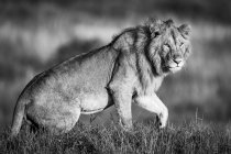 Majestic male lion in wild nature on grass, monochrome view — Stock Photo