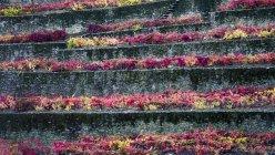 Buntes Laub in Reihen auf einer Terrasse im Douro-Tal; Bezirk Viseu, Portugal — Stockfoto