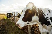 Vacas de Holstein que estão em uma área cercada com tag de identificação em suas orelhas em uma exploração agrícola robótico do leiteria, norte de Edmonton; Alberta, Canadá — Fotografia de Stock