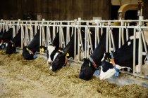 Vacche da latte Holstein con etichette identificative sulle orecchie in piedi di fila lungo la rotaia di una stazione di alimentazione in una fattoria di latticini robotici, a nord di Edmonton; Alberta, Canada — Foto stock