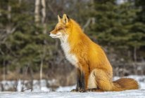 Beautiful red fox with majestic fur in winter snow at forest — Stock Photo