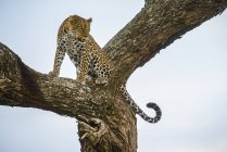 Vista panoramica del maestoso leopardo in natura selvaggia seduto sull'albero — Foto stock