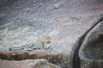 Scenic view of majestic leopard in wild nature relaxing on rock — Stock Photo