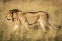 León macho majestuoso en la naturaleza salvaje moviéndose a través de la hierba - foto de stock