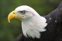Портрет Лисої орла проти розмитого фону — стокове фото