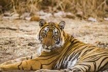 Closeup view of majestic bengal tiger — Stock Photo