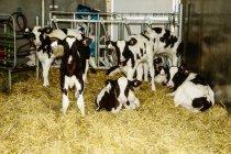 Гольштейн телят стоячи в стійло з ідентифікаційними тегами в вухах на роботизованих молочних ферм, на північ від Едмонтон; Альберта, Канада — стокове фото