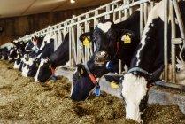 Vacas lecheras Holstein con etiquetas de identificación en sus orejas de pie en una fila a lo largo del ferrocarril de una estación de alimentación en una granja lechera robótica, al norte de Edmonton; Alberta, Canadá - foto de stock