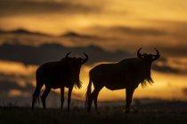 Vista cénico do wildebeest azul majestoso de encontro ao por do sol na natureza selvagem — Fotografia de Stock