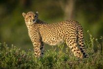 Vista de primer plano de majestuoso guepardo en la naturaleza salvaje - foto de stock