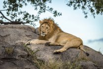 Majestic male lion in wild nature lying on rock — стоковое фото