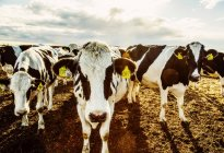 Цікавий Гольштейн корови дивляться на камеру, стоячи в обгородженій області з ідентифікаційними тегами в вухах на роботизованих молочних ферм, на північ від Едмонтон; Альберта, Канада — стокове фото