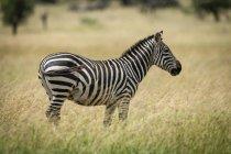 Llanuras cebra de pie justo en la hierba en la vida salvaje - foto de stock