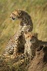 Vista de primer plano de majestuosos guepardos en la naturaleza salvaje - foto de stock
