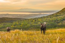 Scenic view of majestic bull moose in wild nature, Chugach State Park, Alaska, United States of America — Stock Photo