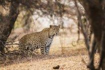 Vista panorámica del majestuoso leopardo en la naturaleza salvaje en el bosque - foto de stock