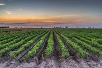 Sunset over cultivated fields in the Cambridgeshire Fens; Christchurch, Cambridgeshire, England — Stock Photo