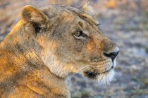 Majestic lioness or panthera leo at wild life — Stock Photo