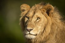 Majestic male lion in wild nature muzzle closeup — стоковое фото