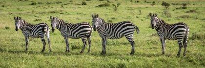Panorama da câmera de olho da zebra de quatro planícies na vida selvagem — Fotografia de Stock