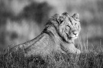 León macho majestuoso en la naturaleza salvaje en la hierba, vista monocroma - foto de stock