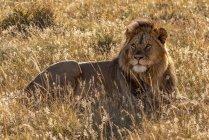 León macho majestuoso en la naturaleza salvaje que se encuentra en la hierba - foto de stock
