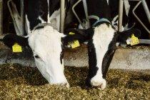 Гольштейн молочні корови з ідентифікаційними тегами на вухах, що стоять в ряду вздовж залізниці годування станції на роботизованих молочних ферм, на північ від Едмонтон; Альберта, Канада — стокове фото