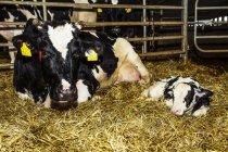 Гольштейн корови з її новонароджений теля в перо на роботизованих молочних ферм, на північ від Едмонтон; Альберта, Канада — стокове фото