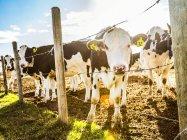 Любопытные гольштейнские коровы стоят у забора из колючей проволоки с опознавательными бирками в ушах на роботизированной молочной ферме к северу от Эдмонтона; Альберта, Канада — стоковое фото