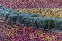 Buntes Laub an den Reben in einem Weinberg, Douro-Tal; portugal — Stockfoto