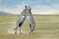 Два зебры борьбы в поле на дикую жизнь — стоковое фото