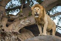 León macho majestuoso en la naturaleza salvaje posando en el árbol - foto de stock