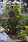 Senior man preparing the roots of new marigold flowers to plant in garden — Stock Photo