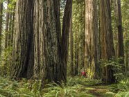 Man standing in the Redwood Forests of Northern California, California, United States of America — Stock Photo