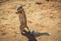 Ground squirrel (Sciuridae) в Фалтайре, Национальный парк Ниб-Науффт; — стоковое фото