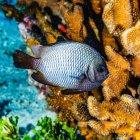 Le Dascyllus d'Hawaï (Dascyllus albisella) est une espèce de poisson endémique hawaïenne. Cet exemple a été photographié sous l'eau lors d'une plongée sous-marine près de Maui ; Molokini Crater, Maui, Hawaï, États-Unis d'Amérique — Photo de stock