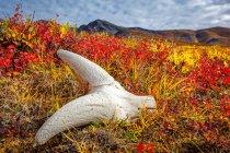 Dall Sheep 's Skull on fall farbige Tundra, Brooks Mountains im Hintergrund. Gates of the Arctic National Park and Preserve, Arctic Alaska im Herbst; Alaska, Vereinigte Staaten von Amerika — Stockfoto