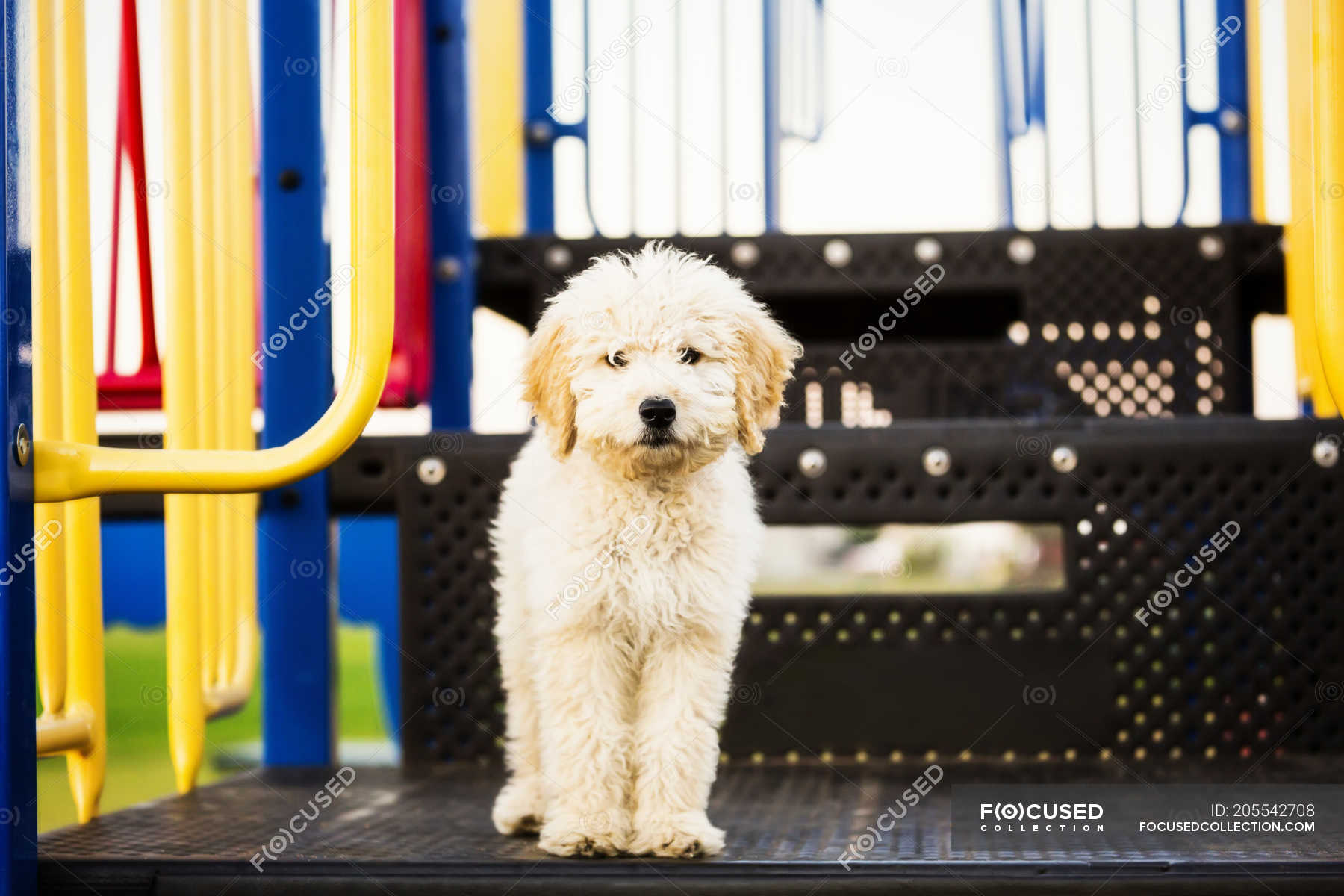 A Cute Poodle Standing On Some Playground Equipment And