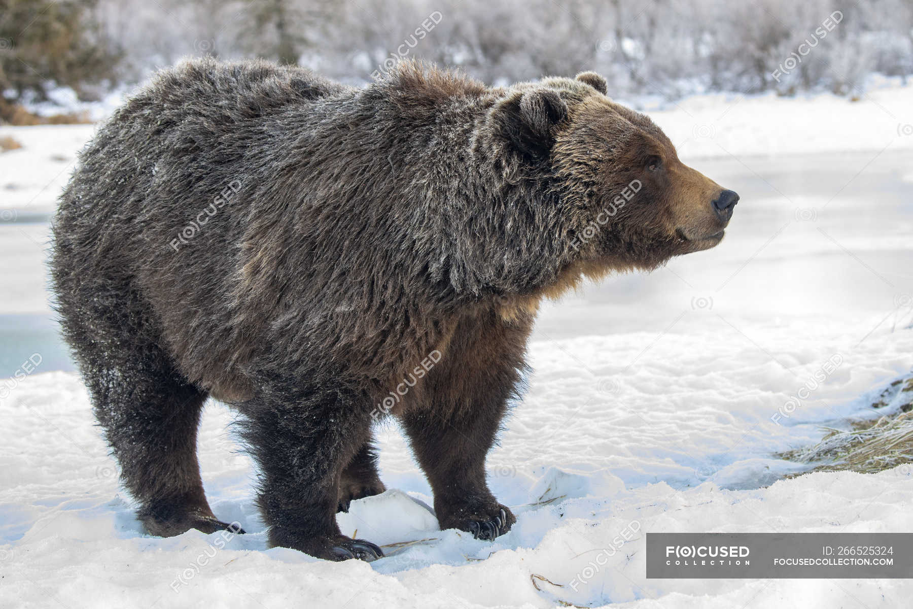 Grizzly bear in the snow at wild nature — large, white - Stock Photo