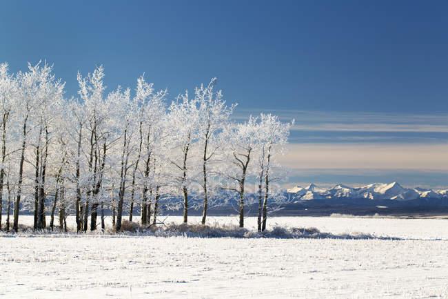 Замороженные деревья в снегу — стоковое фото