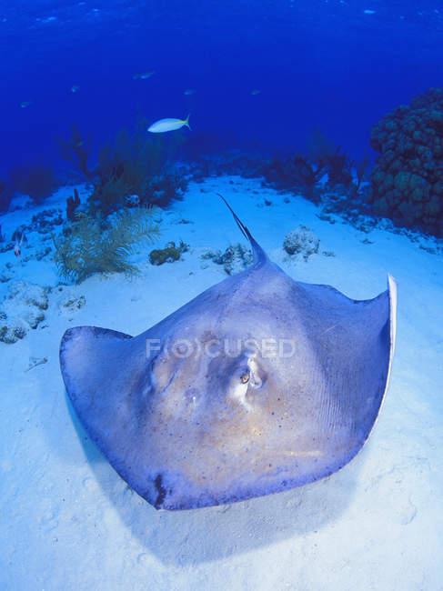 Sting Ray am Meeresboden — Stockfoto