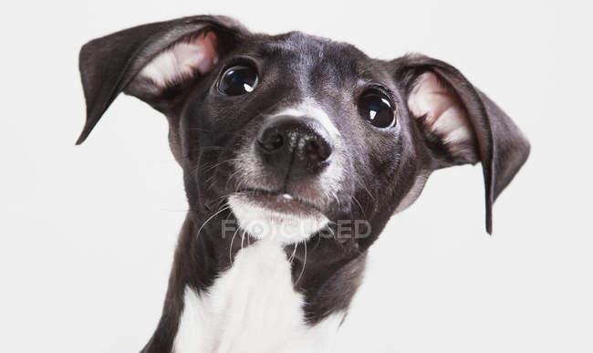 Итальянский охотничий щенок — стоковое фото