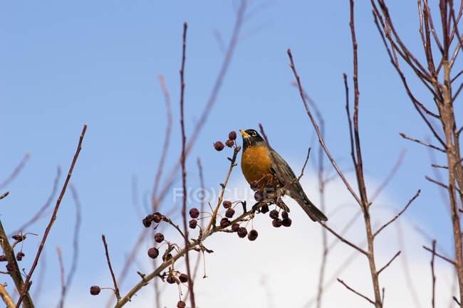 Robin assis sur un pommier — Photo de stock