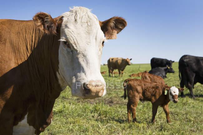 Prime à la vache avec veau en arrière-plan — Photo de stock