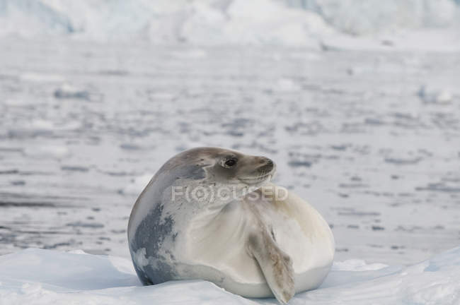 Seal laying on ice — Stock Photo