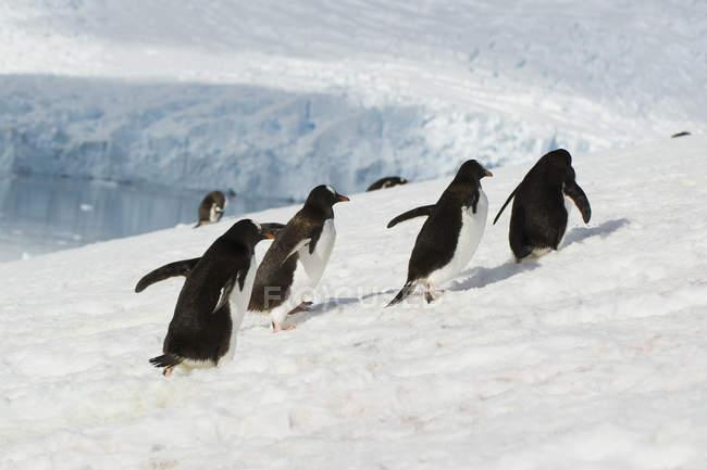 Pingouins courent vers le haut — Photo de stock